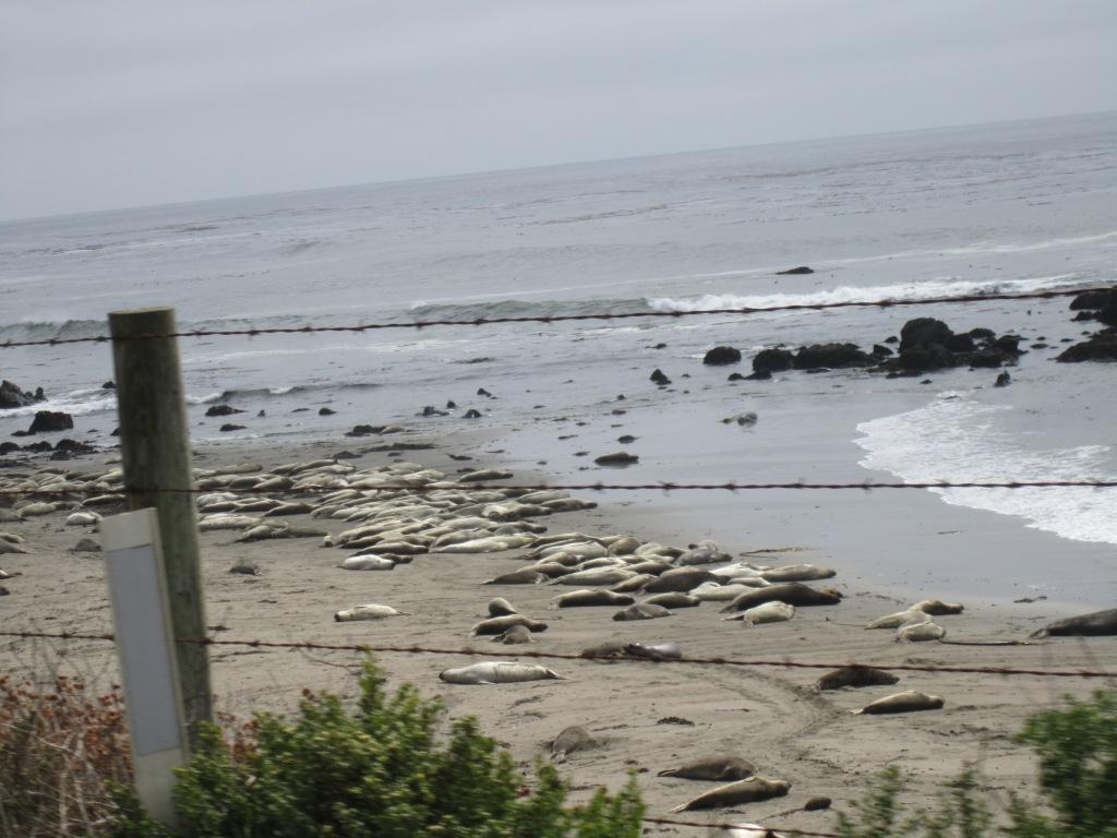 Sea Lions - Highway 1 - Big Sur (CA)