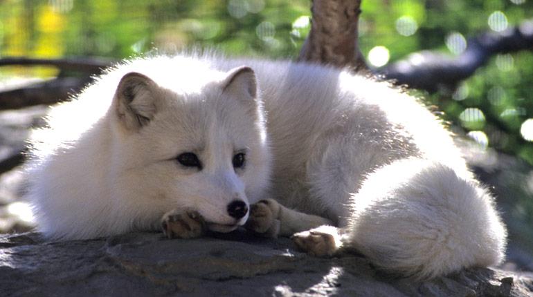 arctic_fox_0